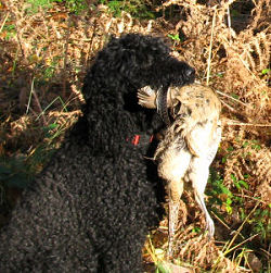 Barbet with a pheasant.