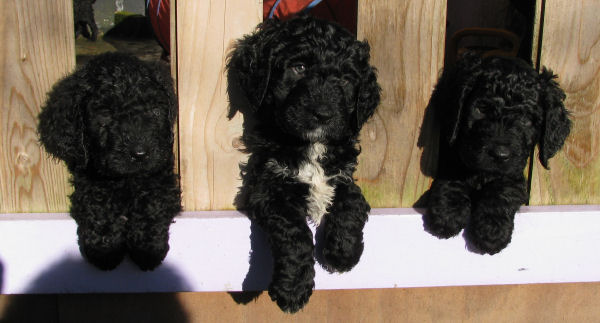Novaforesta barbet puppies