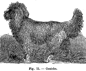 Fig.11 Caniche
