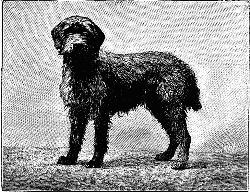 Fig 6. COARSE HAIRED GRIFFON