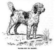 Water-dog or Barbet